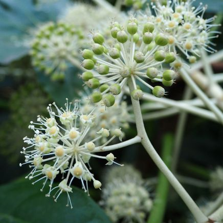 Fatshedera flowers - a close relative of ivy