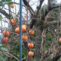 Forbidden fruit - persimmons left hanging on a leafless tree in the fenced model orchard