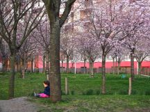 pink blossom parc martin luther king