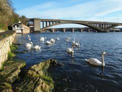 Berwick bridges and swans