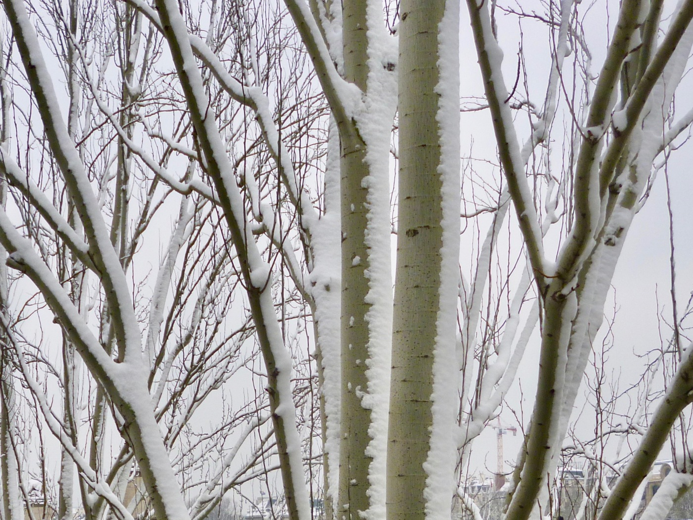 snow on poplars by the Seine
