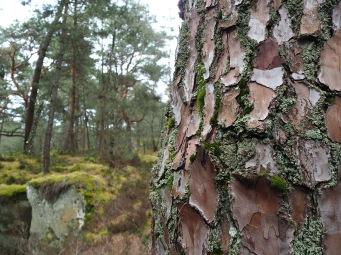 pine bark & lichen Forêt de Fontainebleau