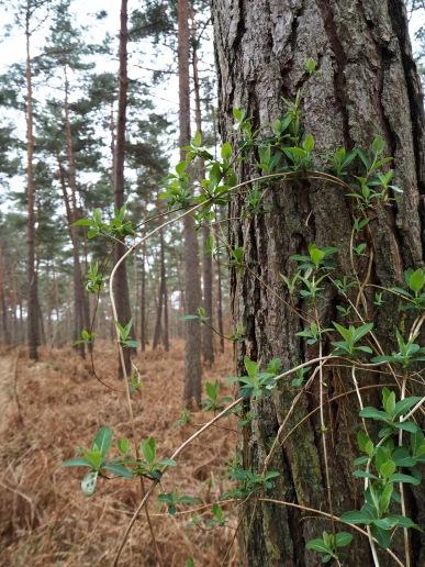 pine and honeysuckle