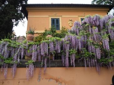 and wisteria season in Rome