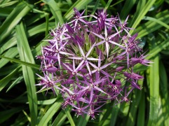 Different species and varieties of Allium are a features of the Broad Walk Borders - here Allium cristophii is seen against the fresh foliage of a day lily