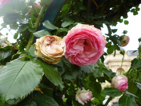 Rose Pierre Ronsard after rain - Jardin de Plantes