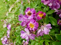 The sweetly scented flowers of 'Veichenblau' - a multiflora hybrid introduced in 1869 - look dusky purple in real life
