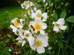 Rosa multiflora Jardin des Plantes