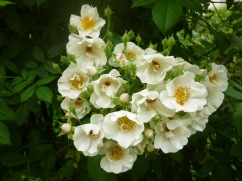 Varieties bread from Rosa multiflora share their parent's robust characteristics - this one is 'Thalia', a variety introduced in 1895