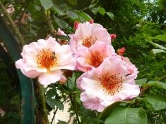 Rose Meg - Jardin de Plantes Paris