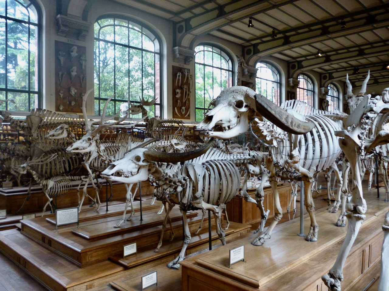 buffalo skeletons Gallery of Comparative Anatomy Paris