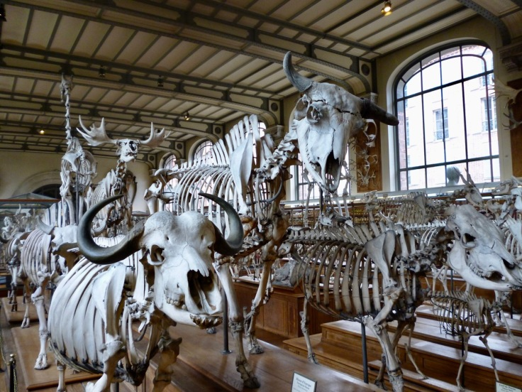 buffalo, bison and elk skeletons - Gallery of Comparative Anatomy Paris