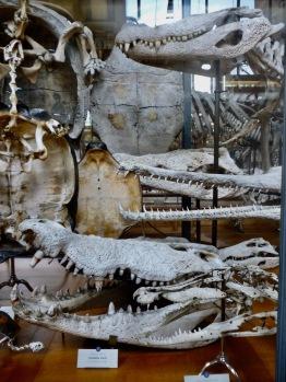 crocodile and aligator skulls - Gallery of Comparative Anatomy Paris