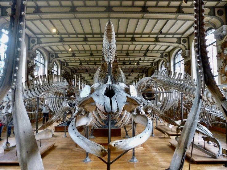whale skeletons - Gallery of Comparative Anatomy Paris