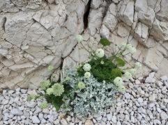 Wild carrot (Daucus carota) with the silver leaves of cineraria (Senecio cineraria)