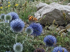 Globe thistle (Echinops ritro) is very attractive to butterflies - here a Painted Lady