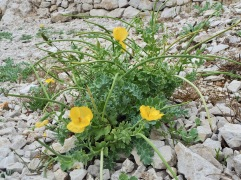 Yellow horned poppy (Glaucium flavor) is more familiar as a plant of shingle beaches in Britain