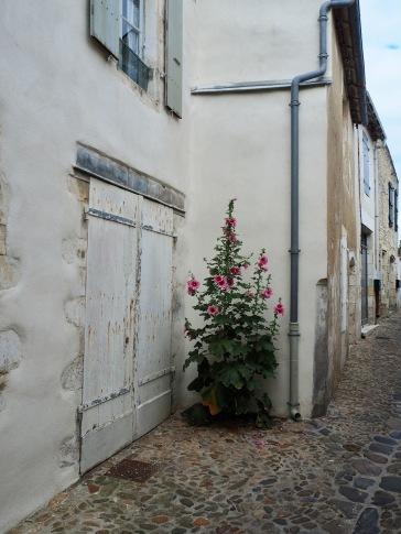 A particularly fine back lane plant in St Martin de Rè