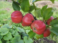 Bloody Ploughman apples August Northumberland