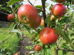 Michaelmas Red apples August Northumberland