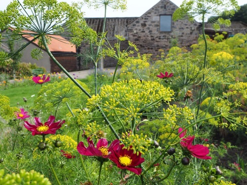 The dill in the flower garden develops bronze tints as the seed ripens - dark pink cosmos add bright spots of colour.