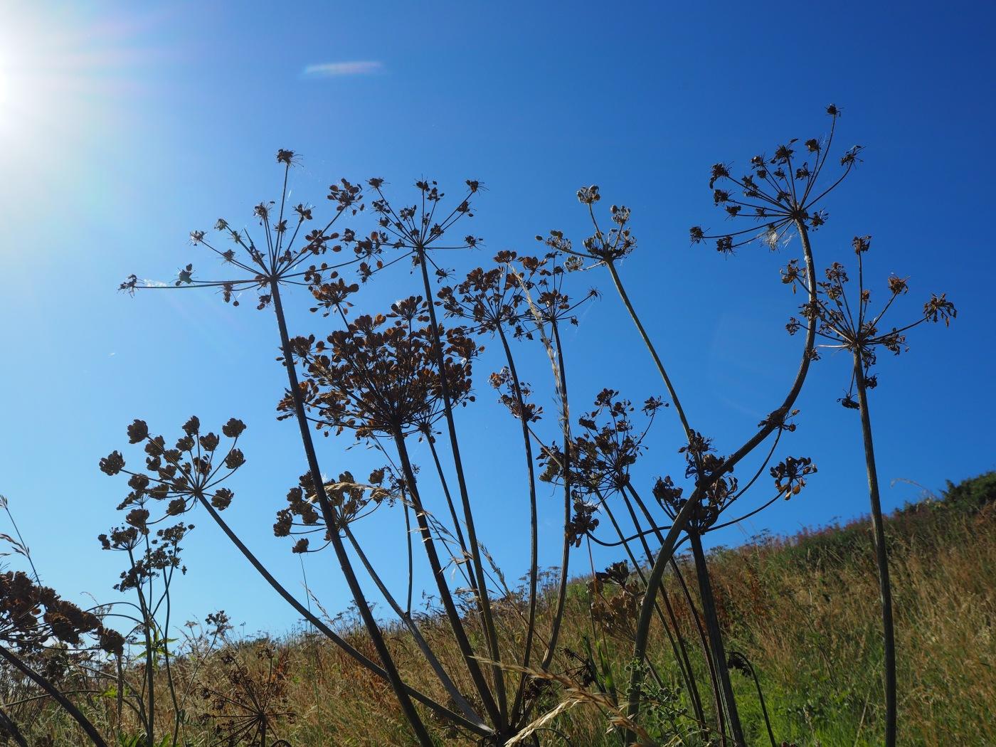 hogweed seed heads