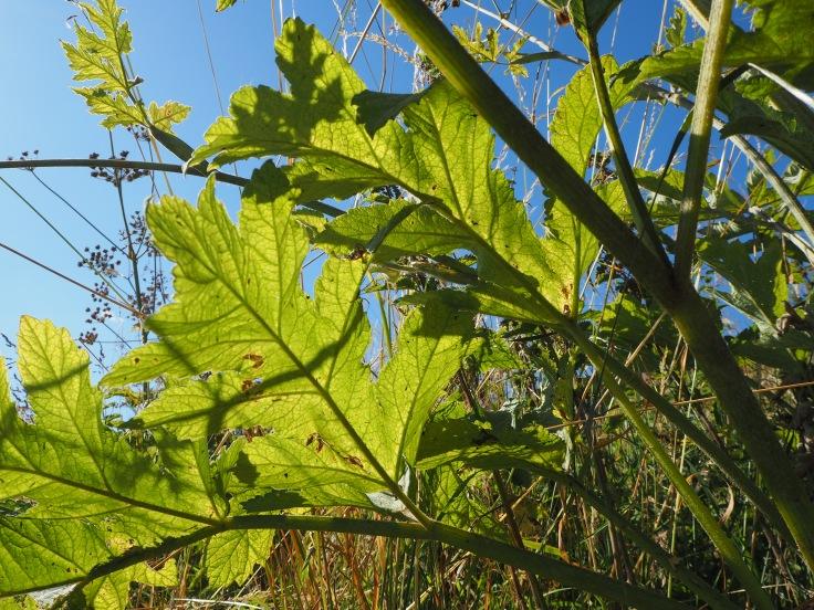 hogweed leaves