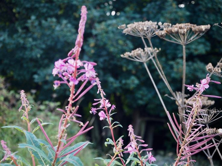 rosebay and hogweed