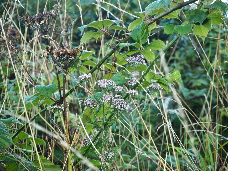 yarrow, hogweed, grass and brambles
