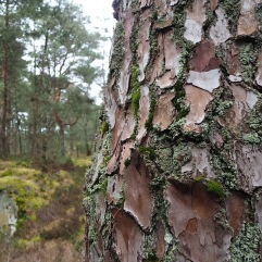 Pine bark at Fontainebleau in April