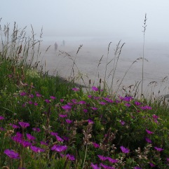 Cranesbills in Northumberland mist in July
