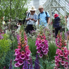 Among the foxgloves at the Chelsea Flower Show in May