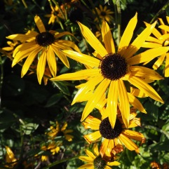 The stiff, wiry stems of perennial Rudbeckia are standing firm