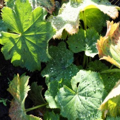 Alchemilla leaves are softly hairy - the raindrops settle into low domes