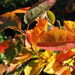 The two young Amelanchier bushes are just a handful of twigs but their leaves give a taste of autumns to come
