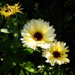 Snow Princess marigolds will keep flowering into December