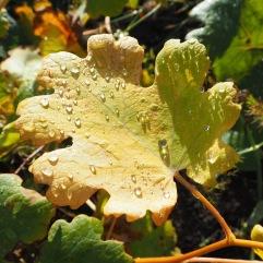 Waxy Macleya leaves hold spherical raiindrops