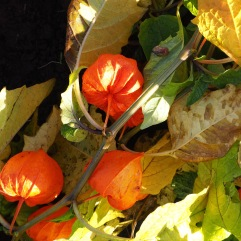 The Chinese lanterns grew tall and lush - they're all lying flat on the ground now