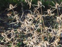 Eryngium seed heads