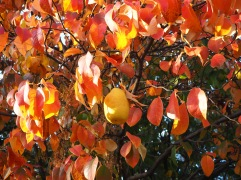 Chinese quince - Pseudocydonia sinensis - autumn colour