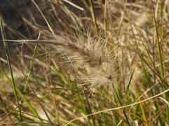 Soft and fluffy Penisetum
