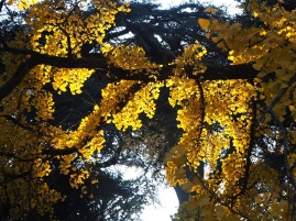 Pine and ginkgo in autumn colour
