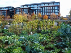 There have been allotments on this site since the 1920s - they were closed for 5 years during the redevelopment