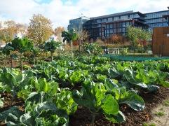 Cabbages in the Grand Parc de St Ouen - November