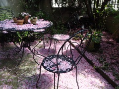 Drifts of April petals in our tiny Parisian garden - the height of luxury