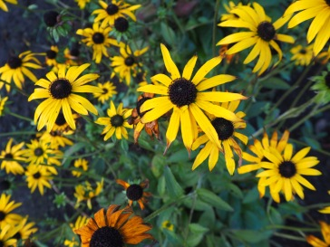 November - rudbeckia flowers standing strong in wind and rain