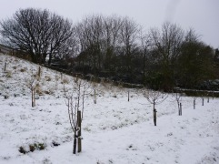 February - I planted the second row of fruit trees in a mild week, then it snowed again
