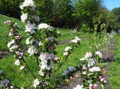 May - apple blossom