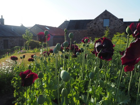 July - dill and 'black' poppies