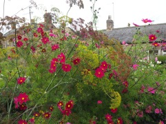 September - cosmos and more dill